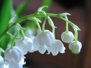 Lilies of the Valley, A Symbol of Peace